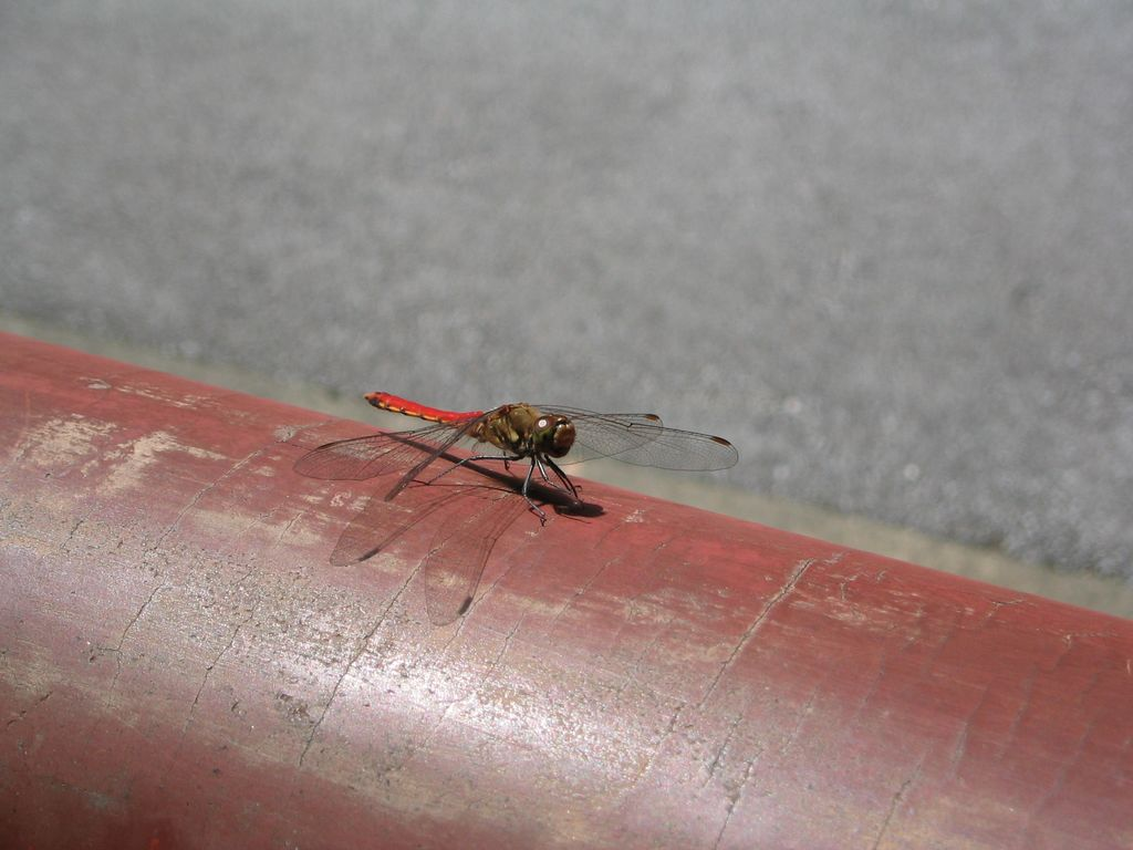 Dragonfly alights on temple beam.